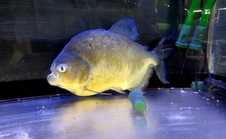 idenoyamapark-freshwaterfish-aquarium7-min