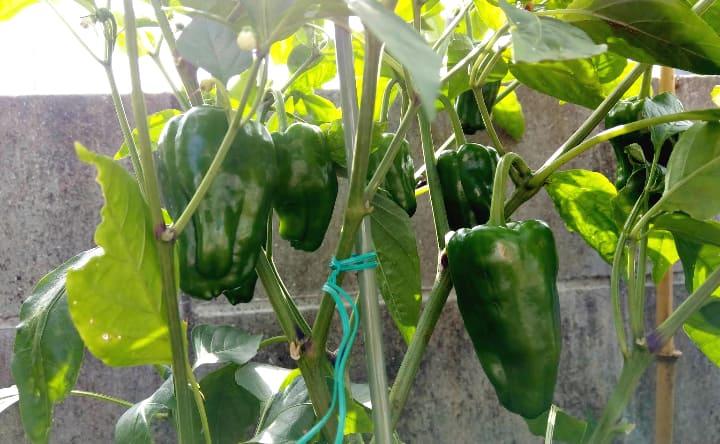 harvesting-vegetables2-min