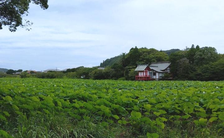 lotus-flower9-min