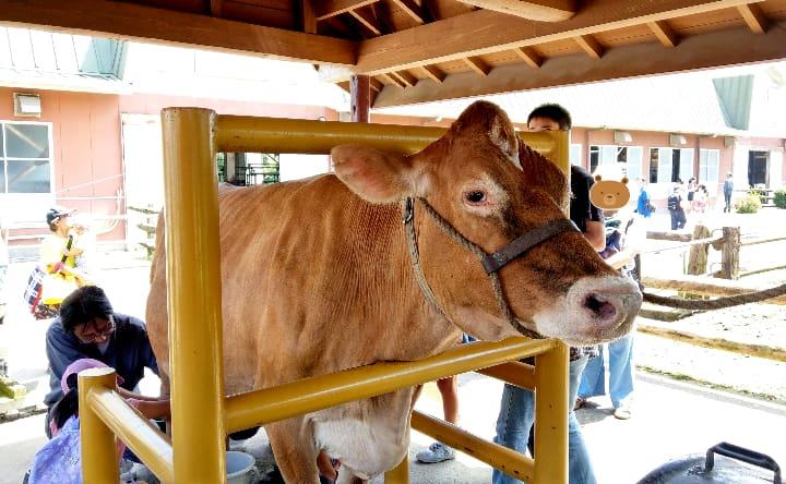 高千穂牧場の乳しぼり体験の乳牛