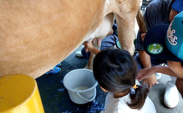 高千穂牧場の乳しぼり体験実践